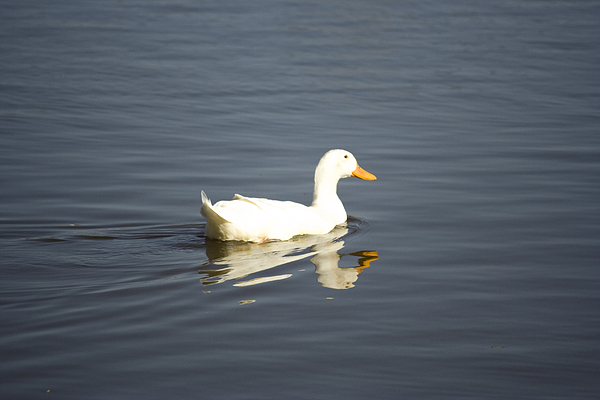 Duck Photograph - Swimming Away by Magda Levin-Gutierrez