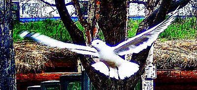 Gull Photograph - Swooping Gull by Heidi Olson