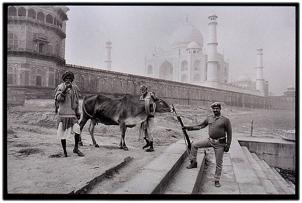 Taj Mahal And Cow Photograph by Algis Kemezys