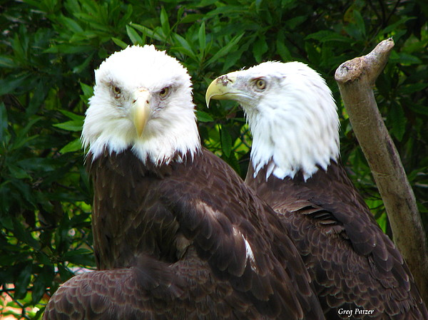 Bald Eagle Photograph - Talking To Me by Greg Patzer
