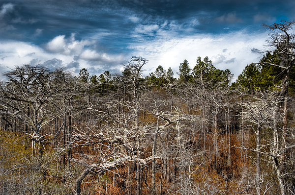 Trees Photograph - Tates Hell State Forest by Rich Leighton