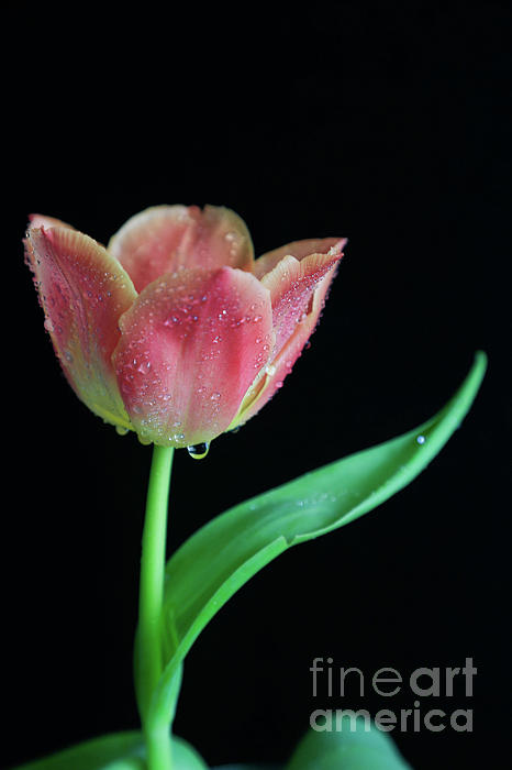 Dew Photograph - Teardrop Tulip by Tracy Hall