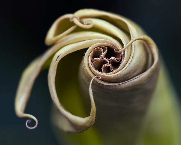 Angel's Trumpet Photograph - Tentacles by Margaret Barry