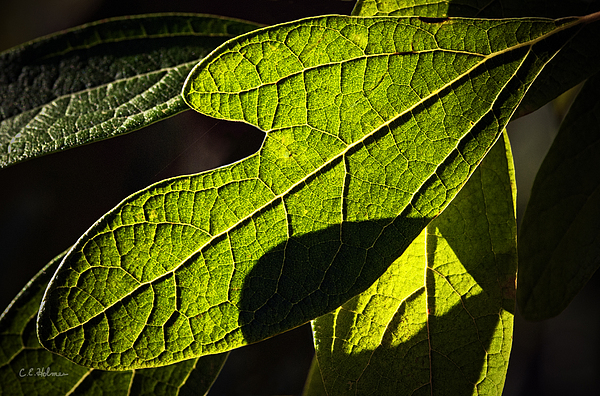 Leaf Photograph - Textured Glow by Christopher Holmes