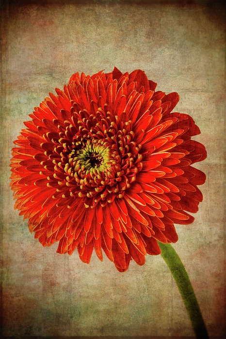 Moody Photograph - Textured Red Daisy by Garry Gay