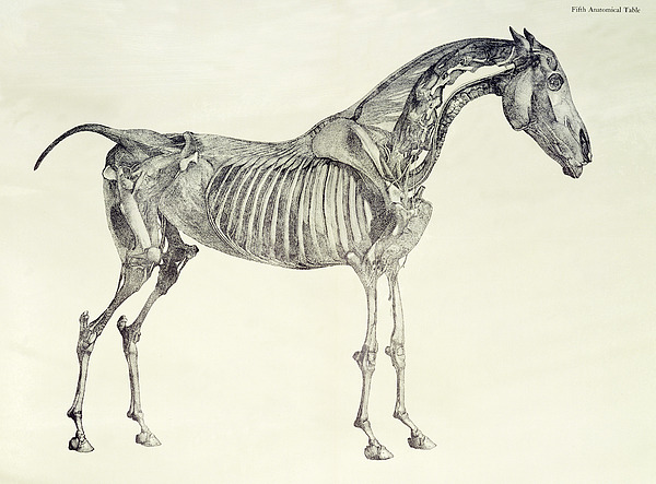 Fifth Drawing - The Anatomy Of The Horse by George Stubbs