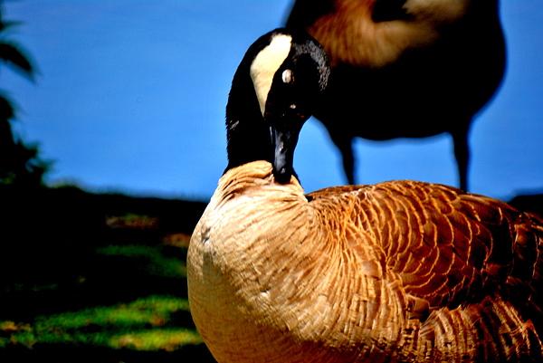 The Beautiful Duck Photograph by Robert Scauzillo