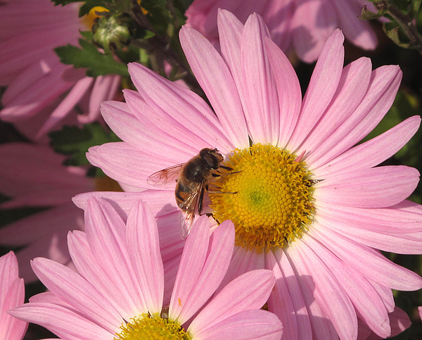 Pink Photograph - The Bee  by Lyle Crump