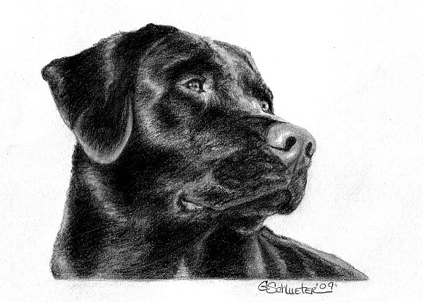 Black Lab Sketch Drawing by Genevieve Schlueter