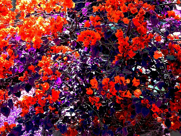 Bougainvillea Digital Art - The Bougainvillea Poster by Juana Maria Garcia-Domenech