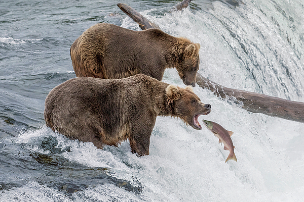 Bear Photograph - The Catch - Brown Bear Vs. Salmon by Mark Kostich