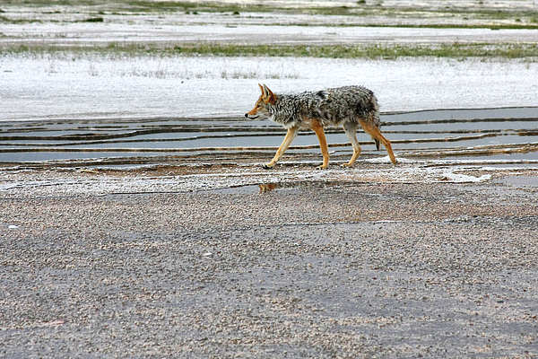 Coyote Photograph - The Coyote - Dogs Are By Far More Dangerous by Christine Till