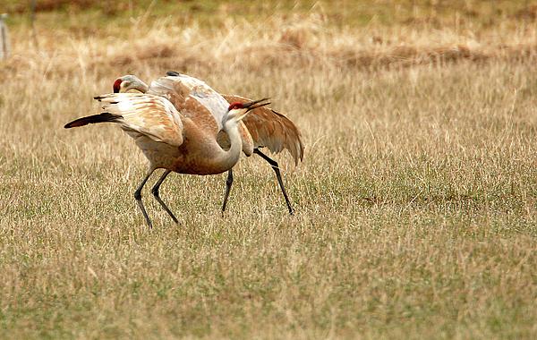Bird Photograph - The Dance by Dennis Hammer