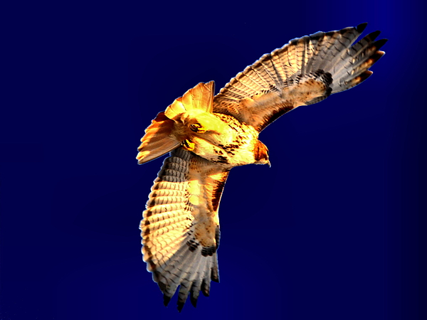 Hawk Photograph - The Fly Away by Emily Stauring