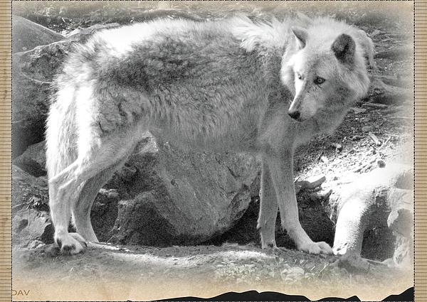 The Gray Wolf Photograph - The Gray Wolf by Debra     Vatalaro