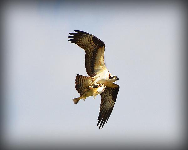Osprey Photograph - The Hunt by Amanda Vouglas