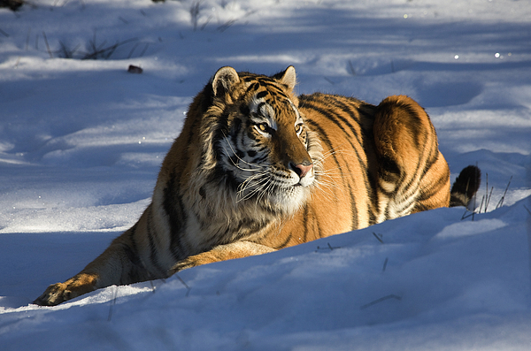 Tiger Digital Art - The Ice King by Dewain Maney