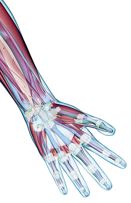 Vertical Photograph - The Ligaments Of The Hand by MedicalRF.com