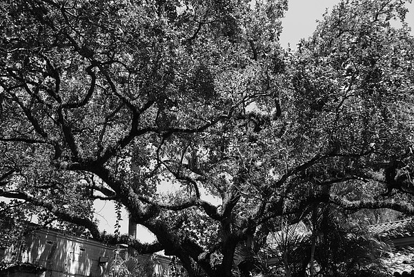 Black And White Photograph - The Monastery Tree by Rob Hans