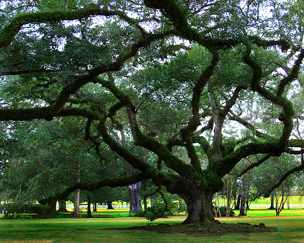 Oak Alley Photograph - The Old Oak by Perry Webster