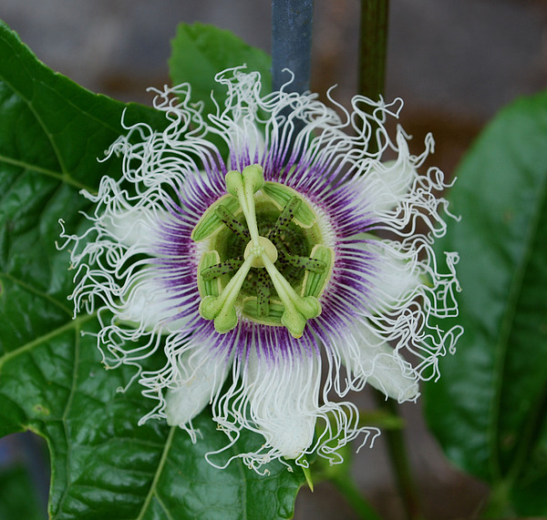 Flower Photograph - The Passionfruit Flower by Coral Dolan