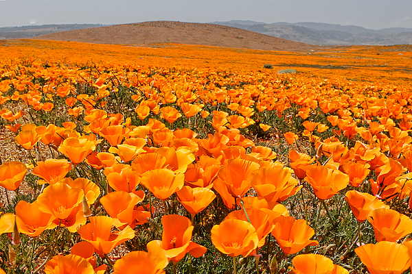 Antelope Valley Photograph - The Poppy Fields - Antelope Valley by Peter Tellone