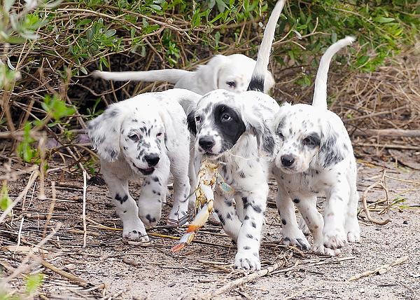 English Setter Photograph - The Puppys Prize by Scott Hansen