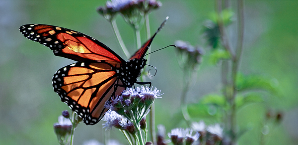 Monarch Photograph - The Reigning Monarch by Ron Plasencia