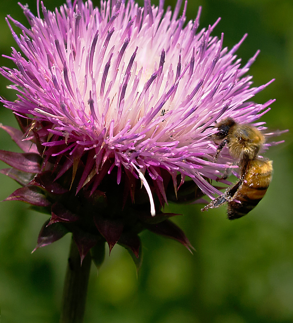 Thistle Photograph - The Thistle And The Stinger by Ron Plasencia