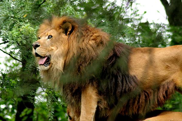 Lion Photograph - The True King by ShadowWalker RavenEyes Dibler
