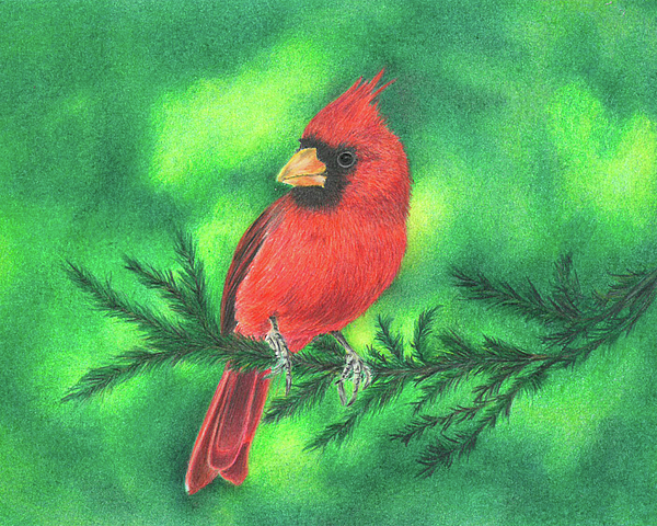 Cardinal Drawing - The Visit by Troy Levesque