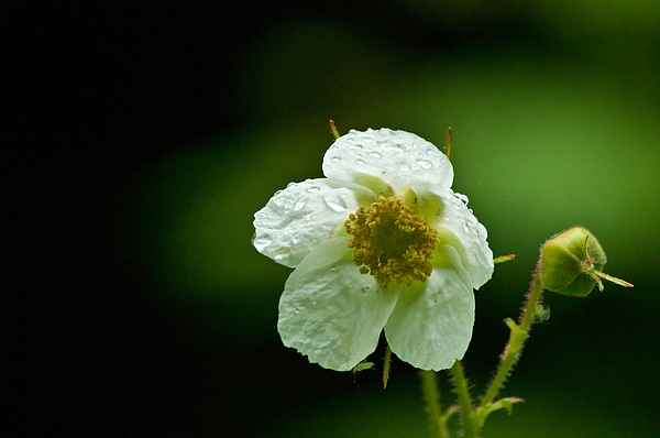 Flora Photograph - Thimbleberry Flower by R J Ruppenthal