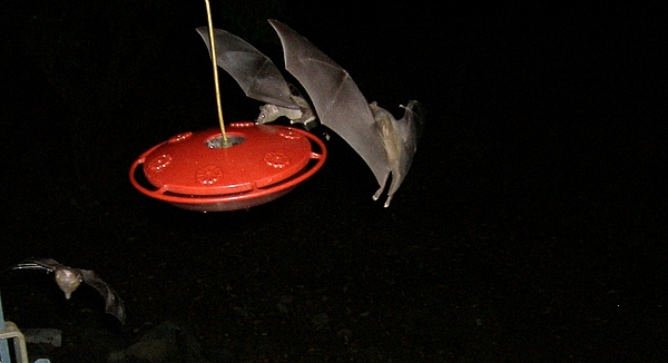 Bats Photograph - Three Bats In A Fountain by Arnold Quentin
