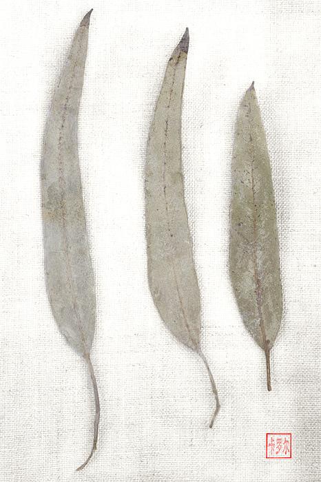 Carol Leigh Photograph - Three Eucalyptus Leaves by Carol Leigh