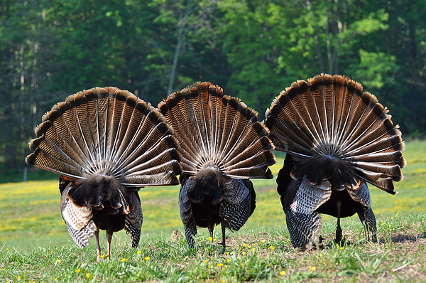Turkey Photograph - Three Fans by Todd Hostetter