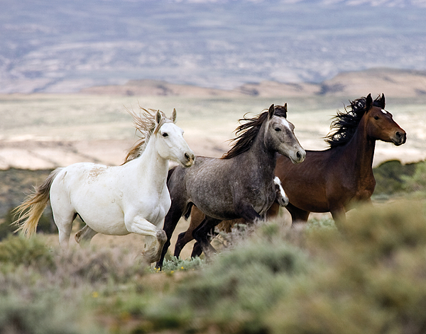 Wild Horses Photograph - Three Mares Running by Carol Walker
