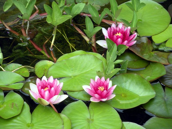 Lily Pond Photograph - Three On A Pond by Jeanette Oberholtzer