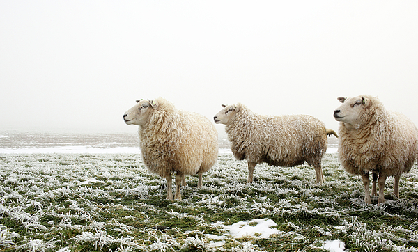 Horizontal Photograph - Three Sheep In Winter by MarcelTB
