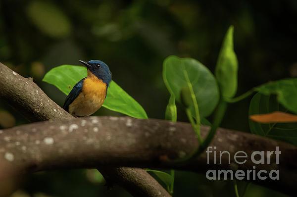 Tickells Blue Flycatcher Photograph by Venura Herath