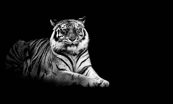 Horizontal Photograph - Tiger by Malcolm MacGregor