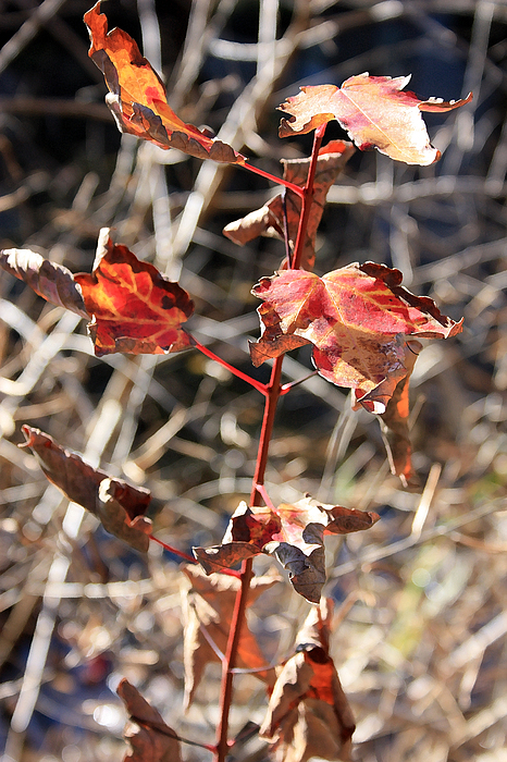 Landscape Photograph - Tired Leaves by Mary Haber