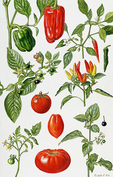 Kitchen Painting - Tomatoes And Related Vegetables by Elizabeth Rice