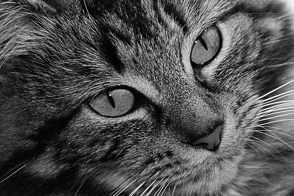 Cat Photograph - Toots1 by Fraser Davidson