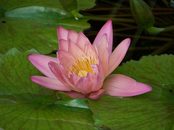 Water Lilly Photograph - Touch Of Pink by Karen Wiles