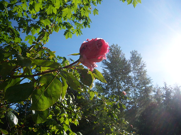 Rose Photograph - Touched By The Morning Sun by Ken Day