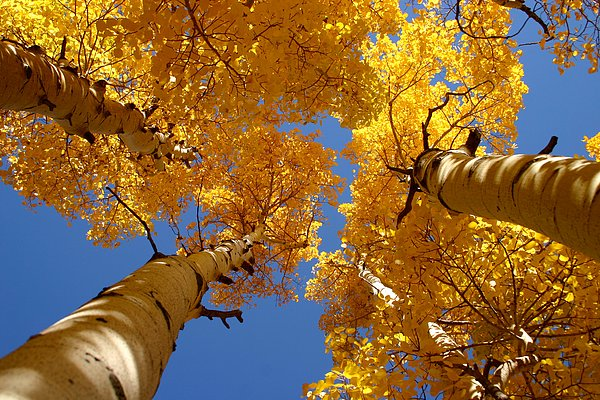 Aspen Photograph - Towering Aspens by Perspective Imagery