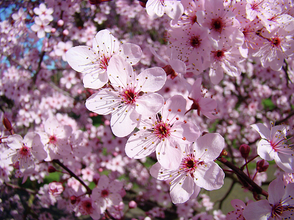 Tree blossoms pink spring flowering trees baslee troutman photograph colorful photograph tree blossoms pink spring flowering trees baslee troutman by baslee troutman mightylinksfo