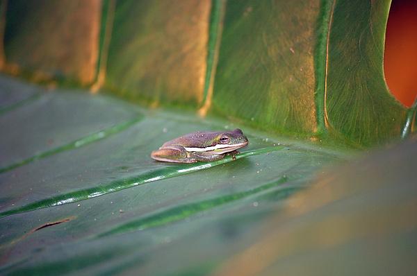 Frog Photograph - Tree Frog IIi by Robert Meanor