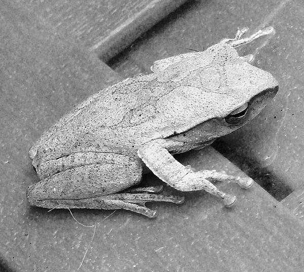 Tree Frog Photograph - Tree Frog Up Late by Kathy Daxon