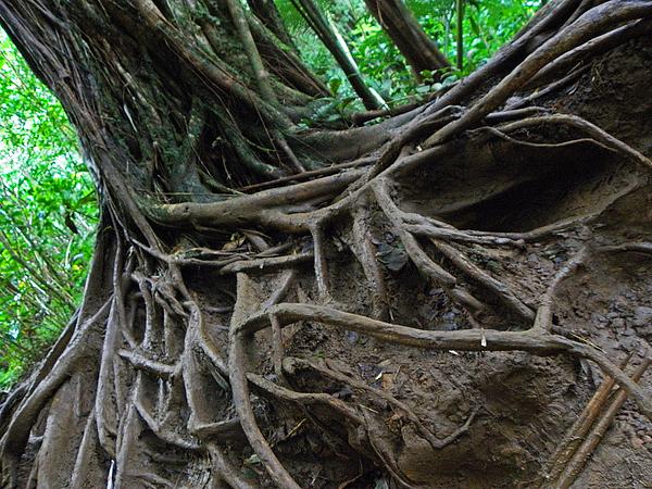Hawaii Photograph - Tree From Manoa Falls by Elizabeth Hoskinson